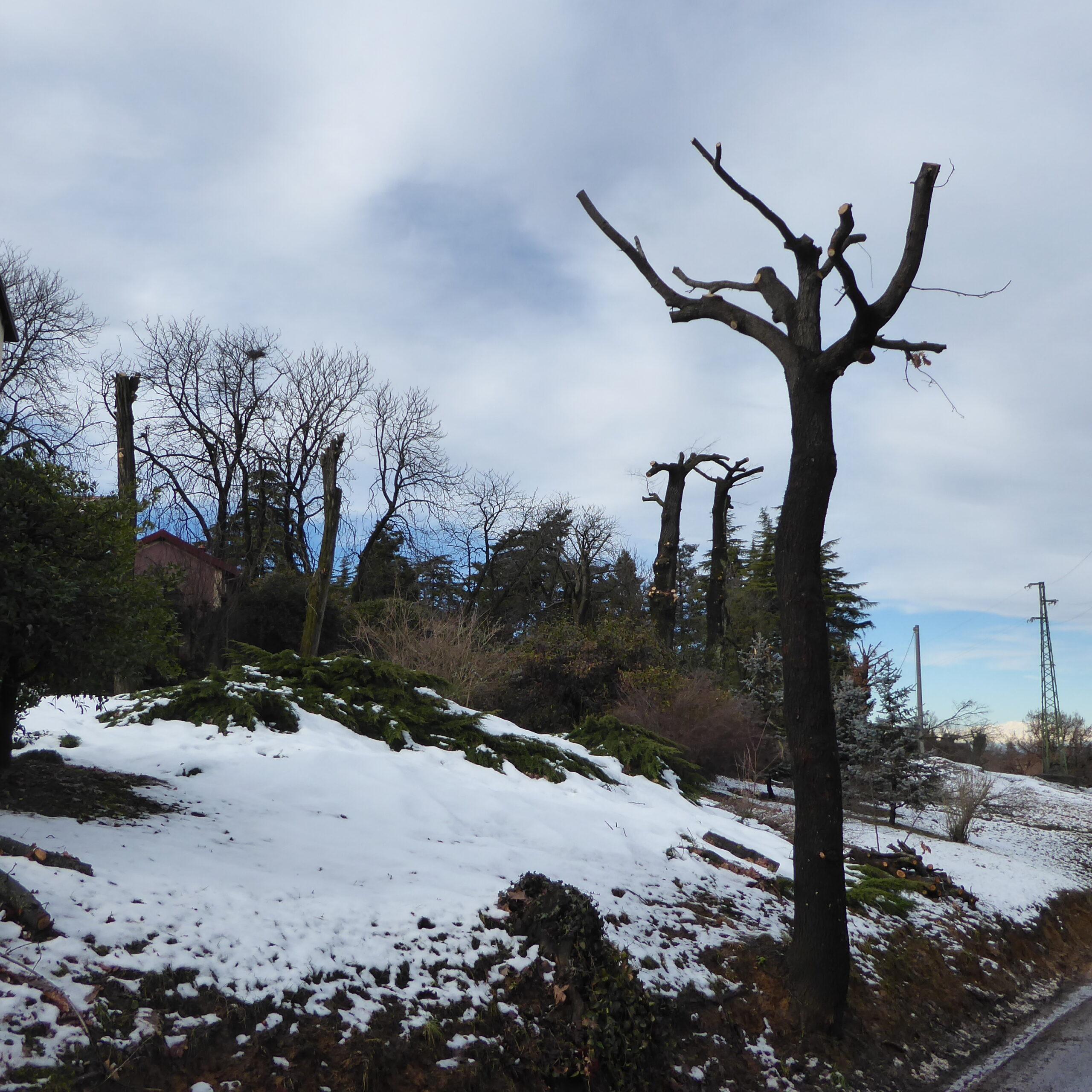 Una potatura disastrosa in strada del Castellone
