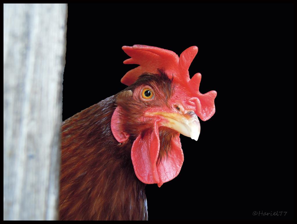 Curiosi su galli e galline? A Cabella vi spiegano tutto